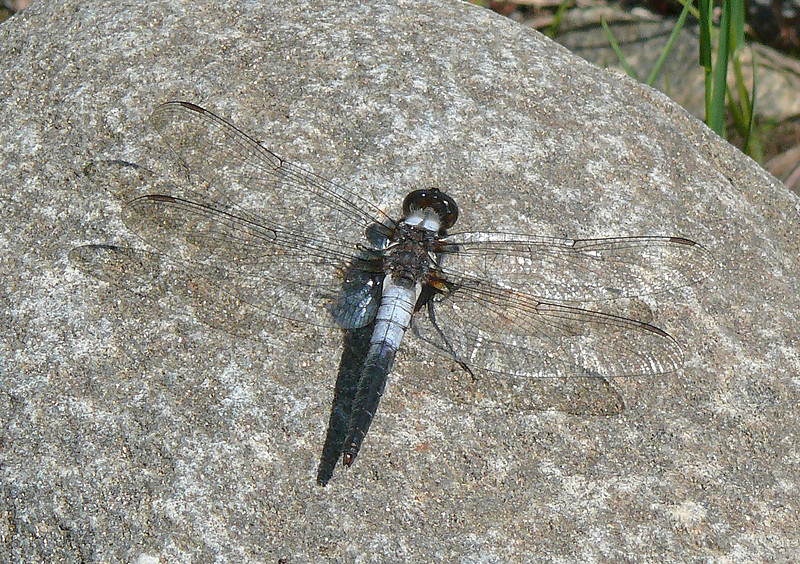 Chalk-Fronted Corporal