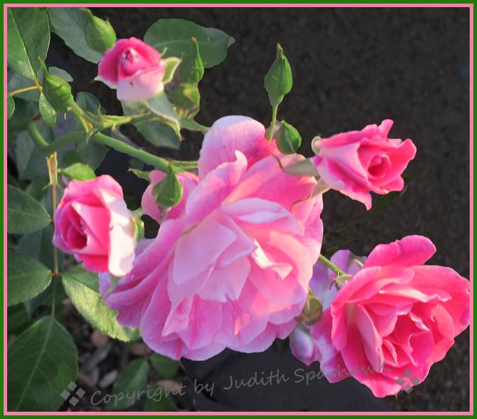 Roses Pink - Judith Sparhawk