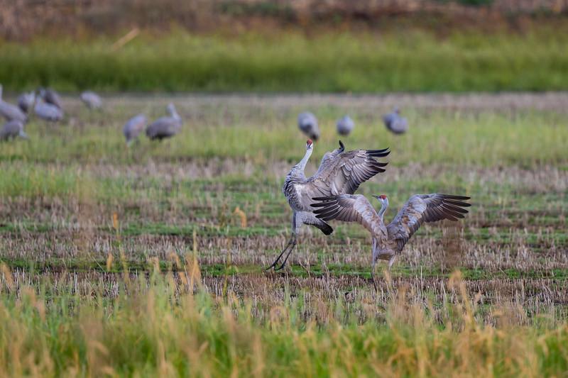 Sandhill Crane - CA, USA