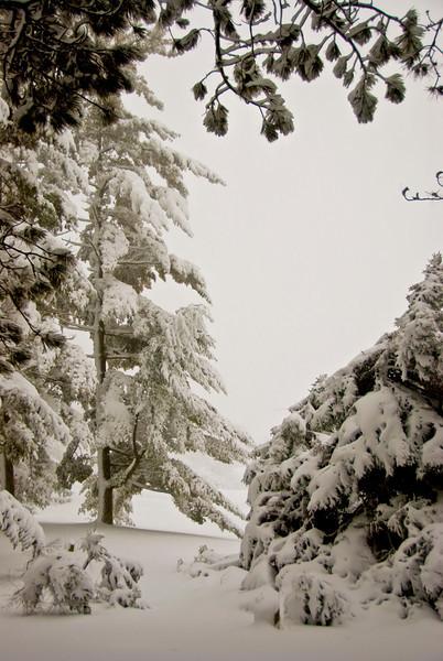 snow tree .jpg