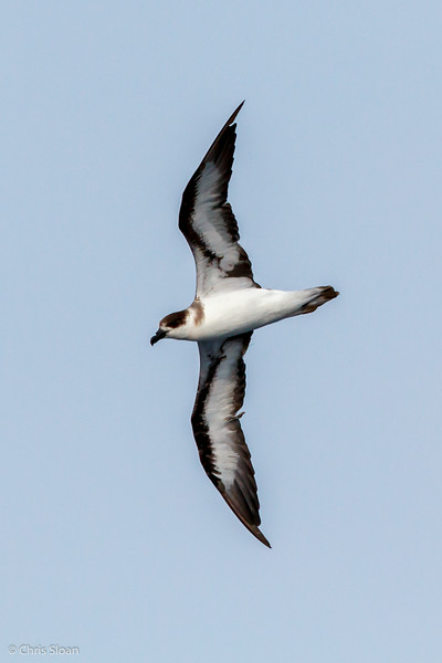Black-capped Petrel at Gulf Stream off Hatteras, NC (08-08-2014) 032-8.jpg
