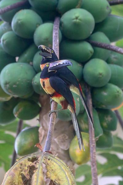 Fiery Billed Aracari Tucan in a Papagaya Tree