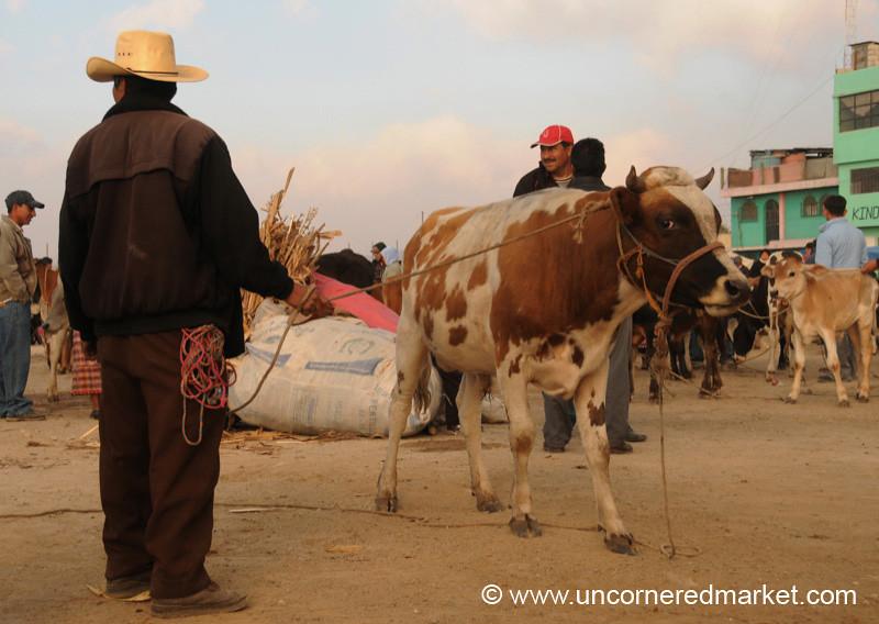 San Francisco El Alto Animal Market, Cow on Leash - Guatemala