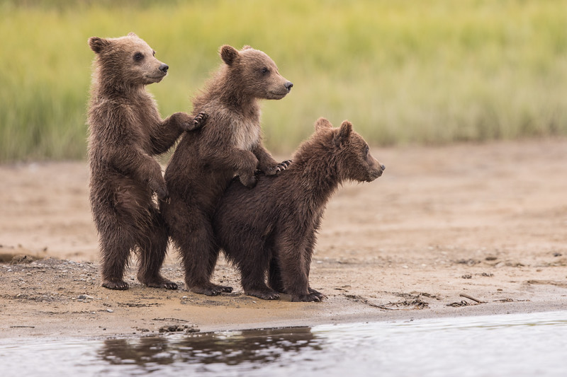"Bear cubs in Katmai National Park. Guru's choice for gurushots.com themes ""Trio,"" ""Animals,"" and ""My Photo With Most Likes."""