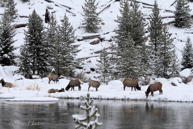 Madison River Elk.jpg
