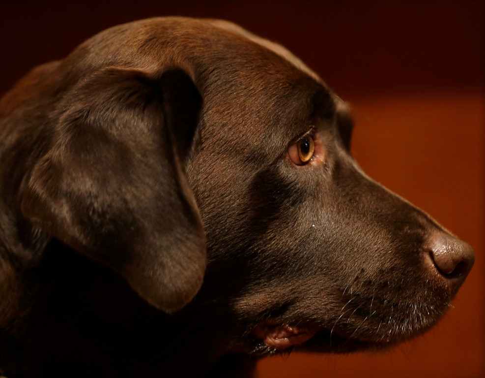 . A Labrador retriever named Shayna attends a news conference at the American Kennel Club in New York. (AP Photo/Seth Wenig)