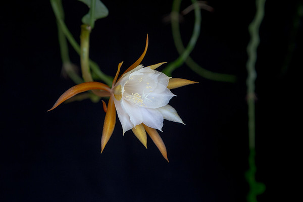 Ric Rac Orchid Cactus (Epiphyllum anguliger)