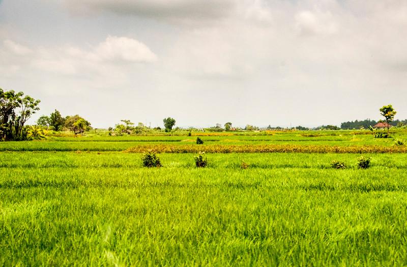 Rice Paddies-3.jpg