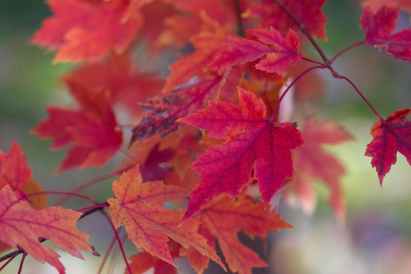 2010 11 04 Fall Maple Leaves 002.jpg
