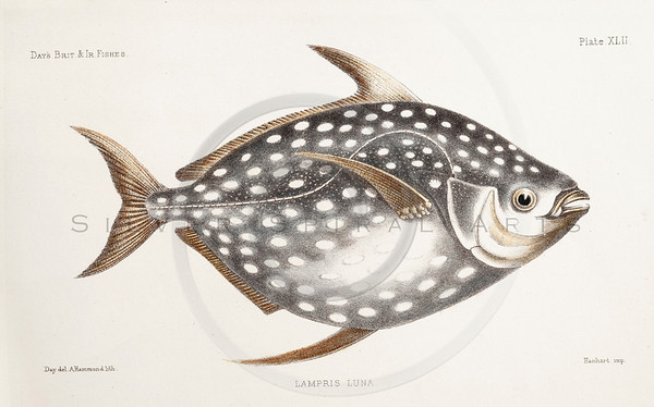 All Vintage Fish Illustrations