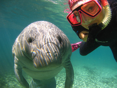 Manatees of Crystal River