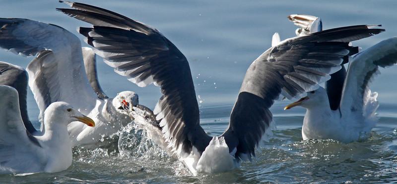 Feeding Frenzy (1 of 4)  Tug of war for the Eel