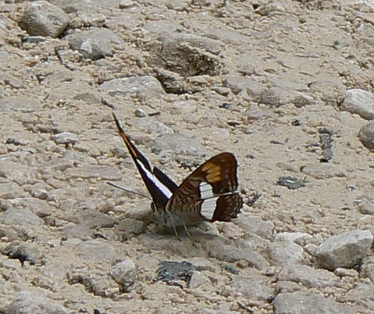 PithySister317_1 Aug. 6, 2006    11:09 a.m.  P1000317 Pithy Sister, Adelpha pithys.  Lagunas de Montebello.