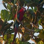 Red parrot bird in the Pantanal, Brazil