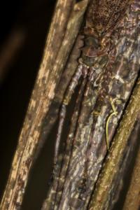 Rainforest Katydid