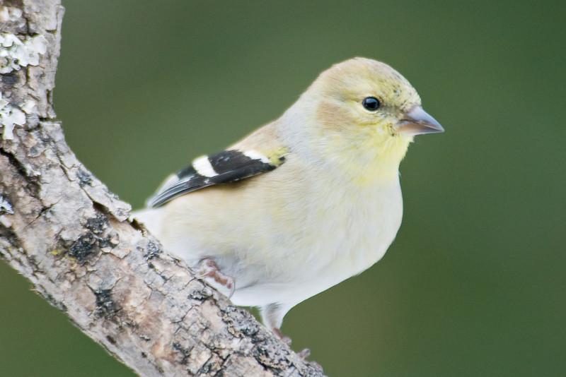Goldfinch - American - winter - Dunning Lake, MN - 01