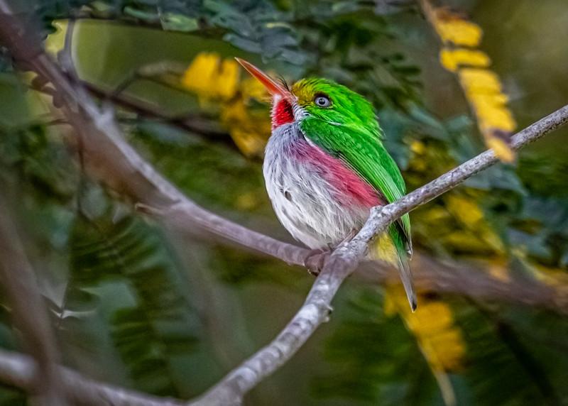 Todus multicolor_Ciénega Zapata_250220_A3A3948.jpg
