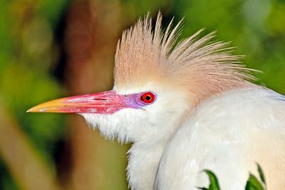 Egrets, Ibis, Limpkins, Bitterns