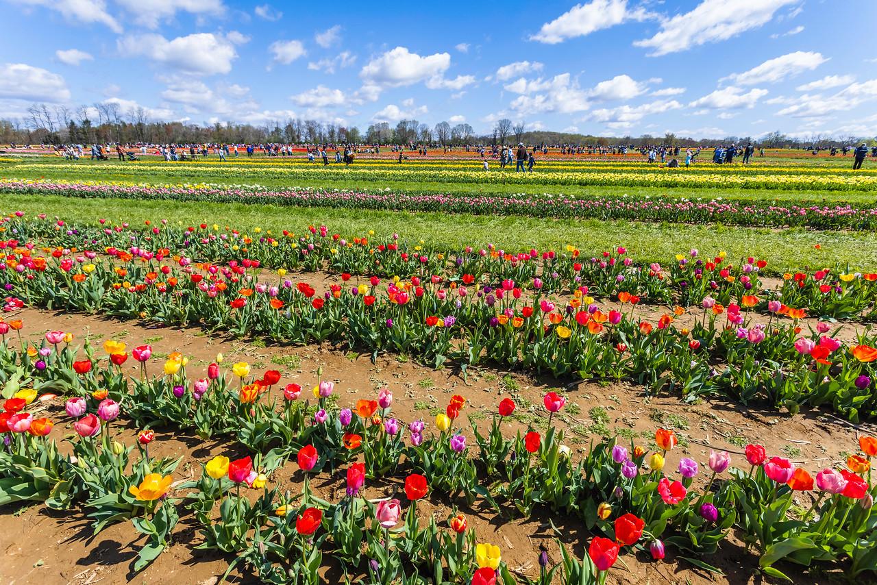 荷兰岭农场(Holland Ridge Farms, NJ),花的彩带