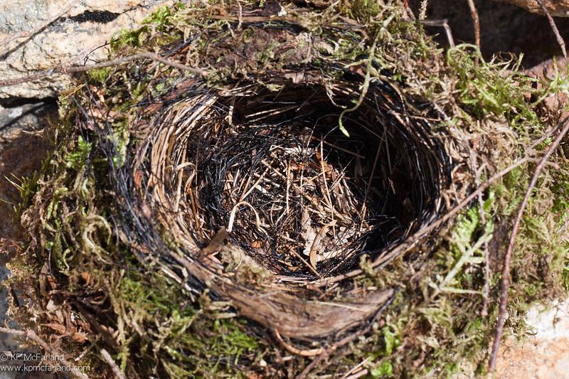 Bicknell's Thrush nest, Mt. Washington, NH