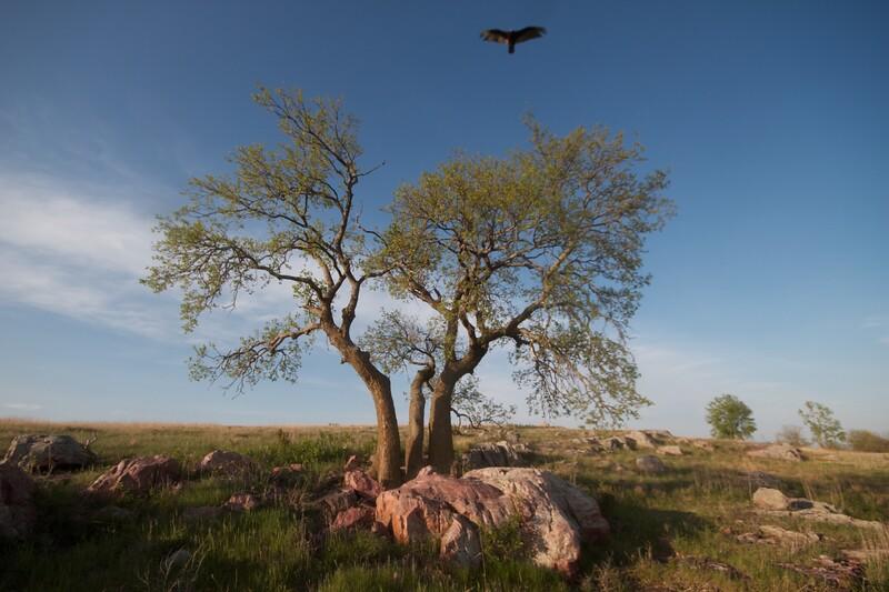 Turkey Vulture Blue Mounds State Park landscape Rock Co MN IMG_9973.jpg
