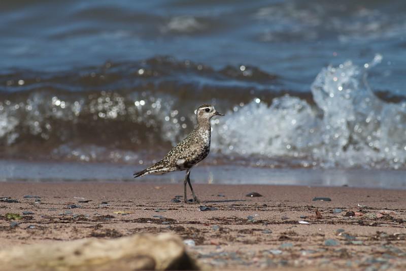 Black-bellied Plover Park Point Duluth MN IMG_4560.jpg