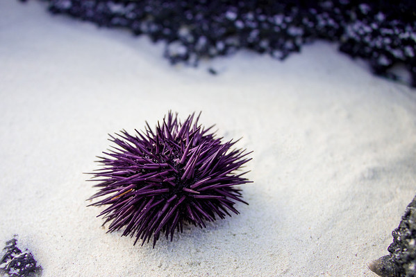 A beautiful purple sea urchin that was washed up in front of us as we were writing the heart in the sand.  We returned him to the sea after we photographed him.  His spines were still moving!!!