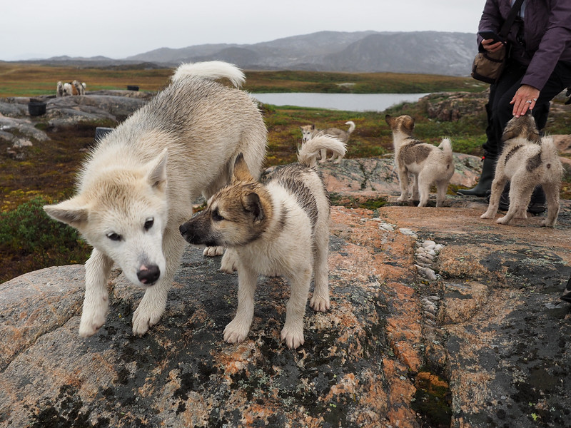 Sled dog puppies in Ilulissat