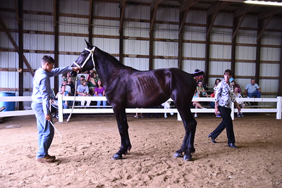 Percheron Mare 2-3