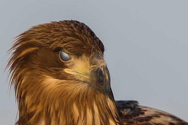 2014.1 White Tail Eagle