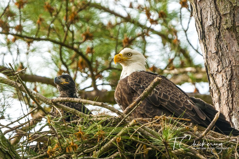 Bald Eagle Parent and Eaglet Three-1557089563165.jpg