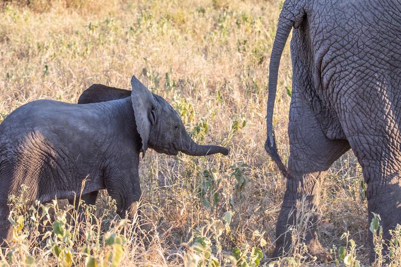 Baby elephant with mom