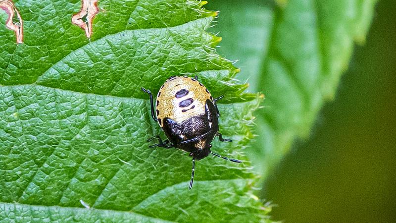 Pied Shield Bug