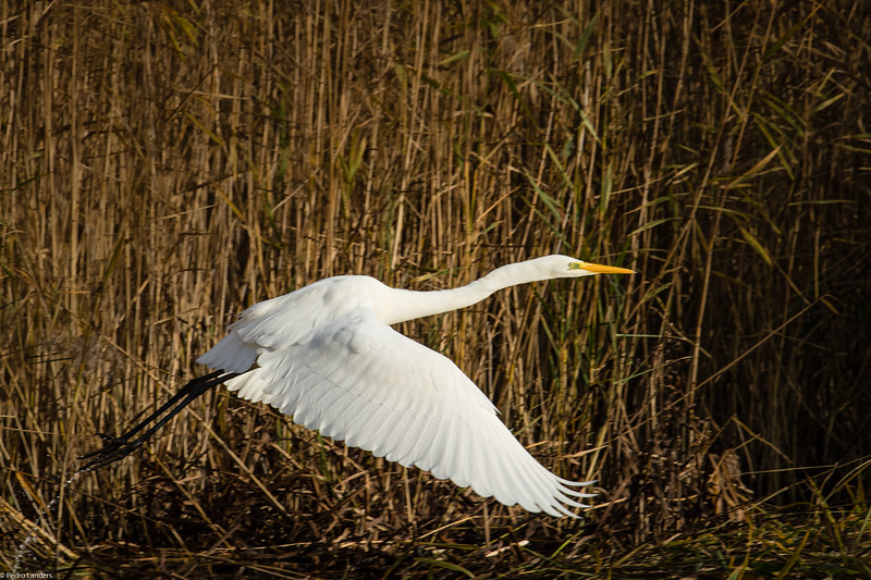 Great White Egret Takeoff