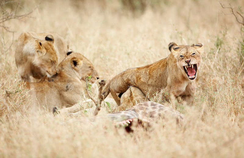 039 Lion - 9731.jpg