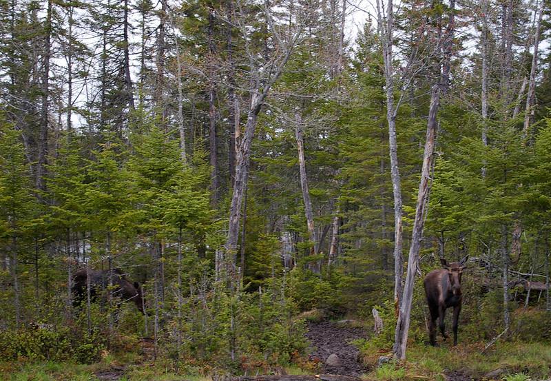 2 bull moose<br /> Errol, NH