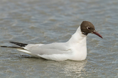 Black headed Gull (Gaviota reidora)