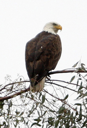 Yucaipa Bald Eagle