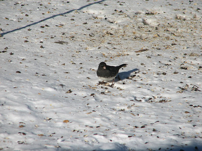 20070212 Dark-eyed Junco