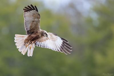 Harriers & Secretary Bird / Kärrhökar & sekreterarfågel