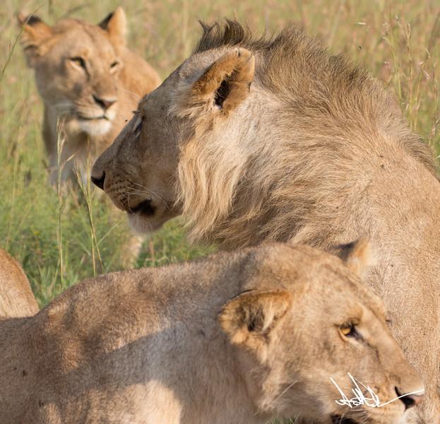 Lions Masai Mara - S-18.jpg