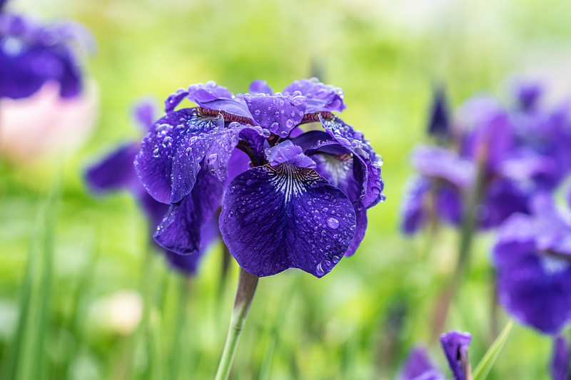 Arboretum Flower Iris-06286.JPG