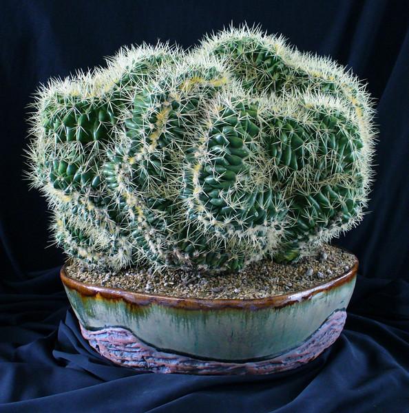Echinocereus Grusonii crest