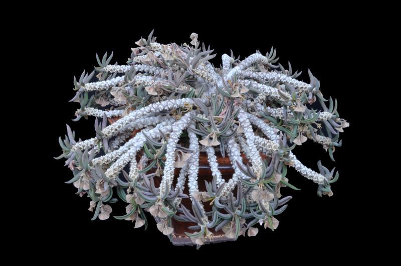 Euphorbia cylindrifolia subsp. tubifera
