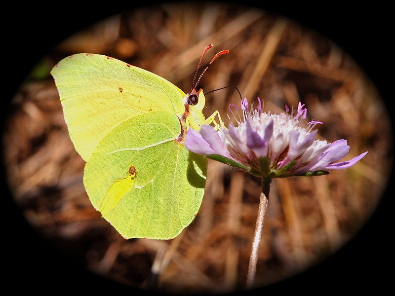 Brimstone Butterfly, Camargue South of France 2009 ak