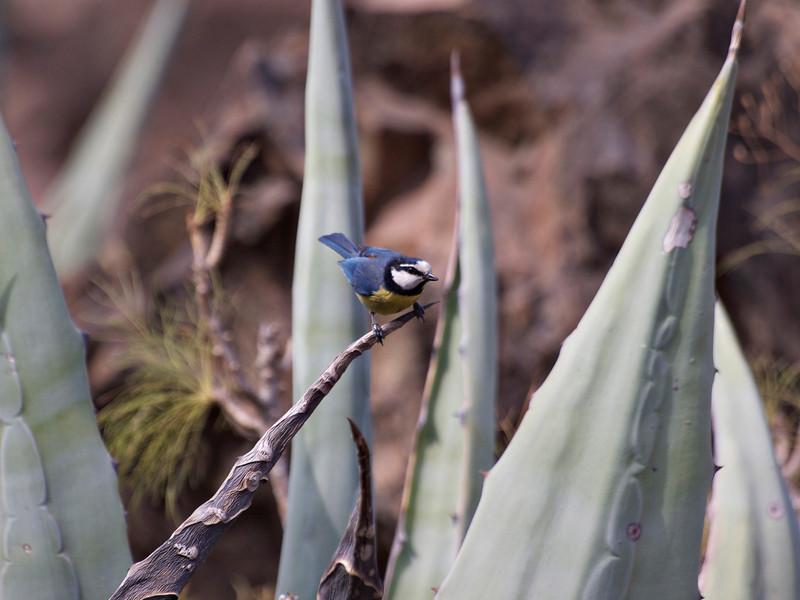 CanarianBird.jpg