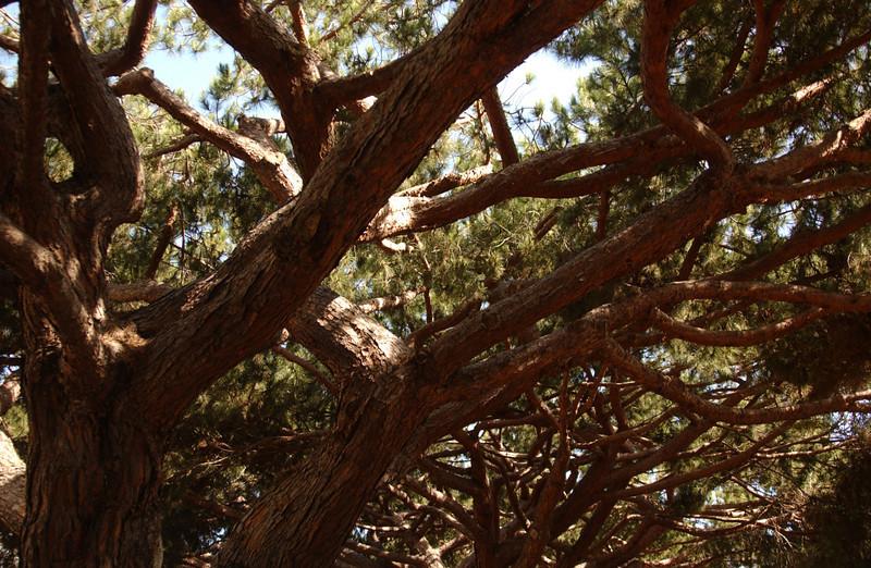 Torrey pine trees near La Jolla