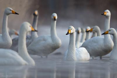 Swans, Geeses & Pelicans / Svanar, gäss & pelikaner