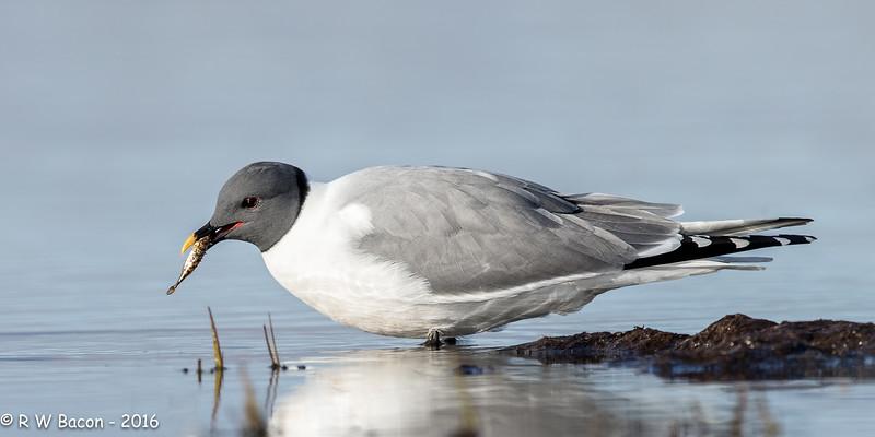 Sabines's Gull.jpg