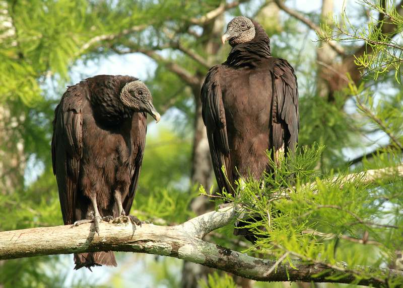 Two Black Vultures in the Florida Everglades